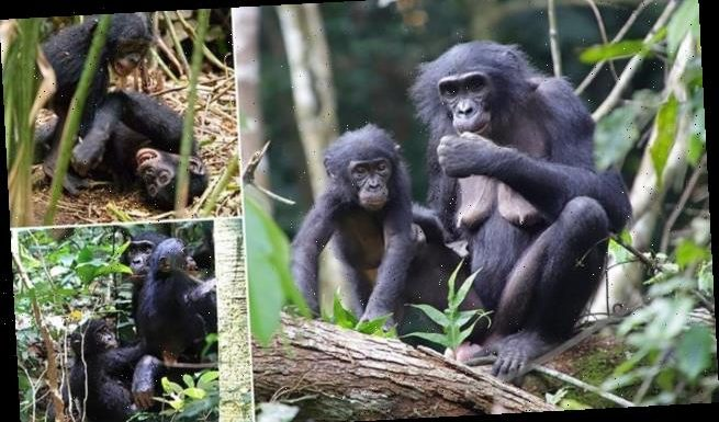 Female bonobos will 'adopt' orphans from other social groups