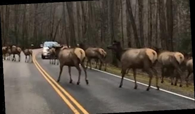 More than 30 elk bring traffic to a standstill in the Smoky Mountains