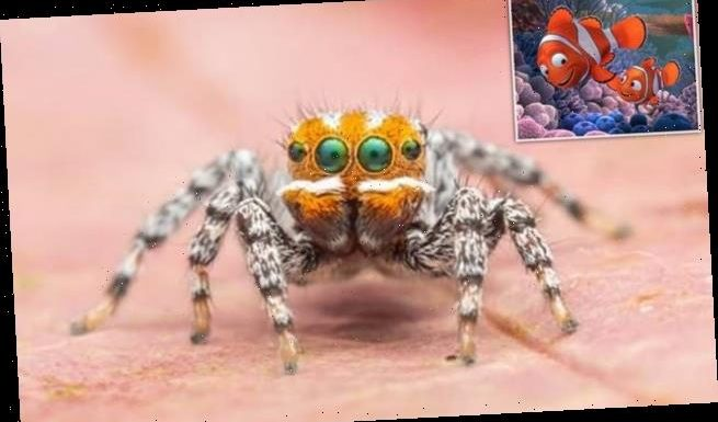 Meet Nemo! Cute peacock spider is named after the Pixar character