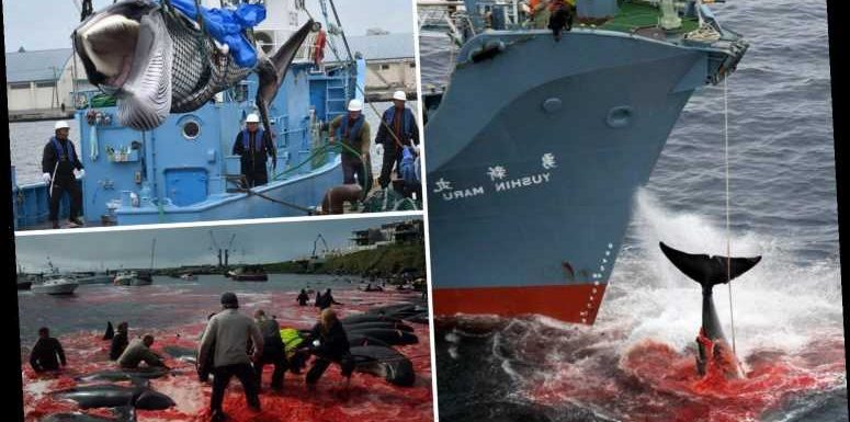 How thousands of whales are cruelly killed with 'harpoon bombs' by hunters who sell their meat as a delicacy – The Sun