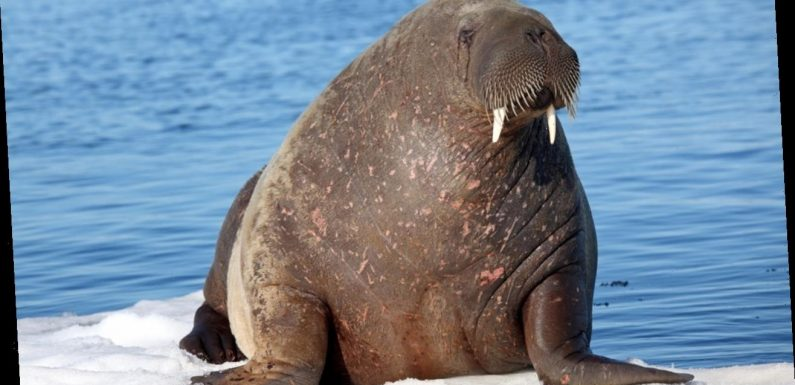 Walrus spotted for the first time ever in Ireland