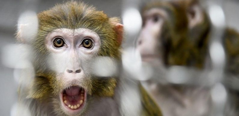 Hybrid monkey-human embryos created in lab for first time in major breakthrough