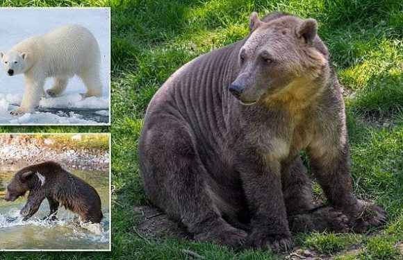 Meet the 'pizzly bear': A hybrid between a polar bear and grizzly