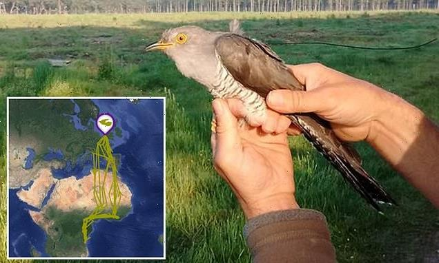 PJ the cuckoo returns home to Suffolk after a 50,000-mile-journey