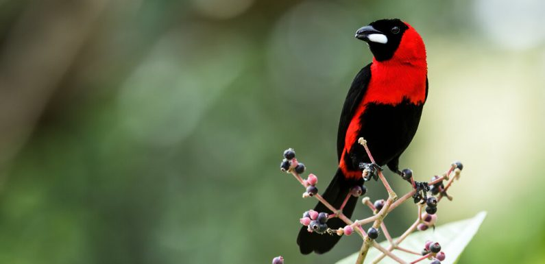 Some Male Birds Fly Under False Colors to Attract Mates, Study Suggests