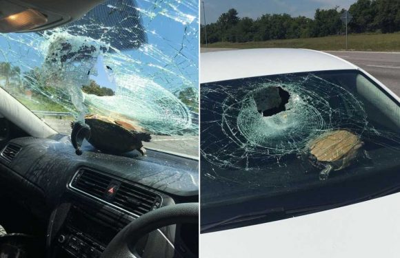 Woman gashed in the head after turtle crashes through windshield