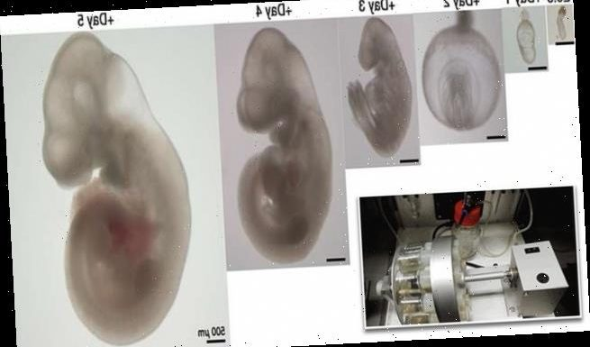 Experts say human embryos could be grown in a test tube for FIVE WEEKS