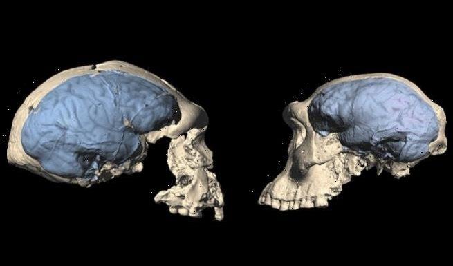 Modern human brain evolved 'as far back as 1.7 million years ago'