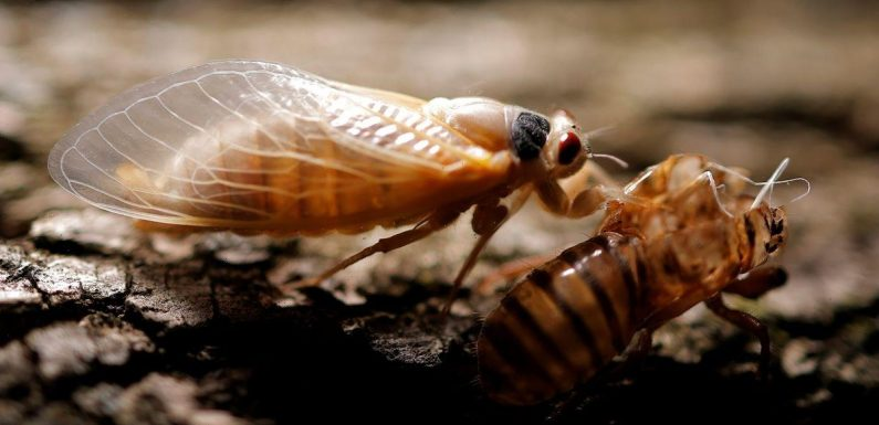 Americans 'terrified' as trillions of enormous cicadas burrow out of the ground