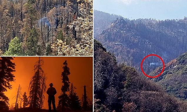 Giant sequoia is still smoking from the California's 2020 Castle Fire