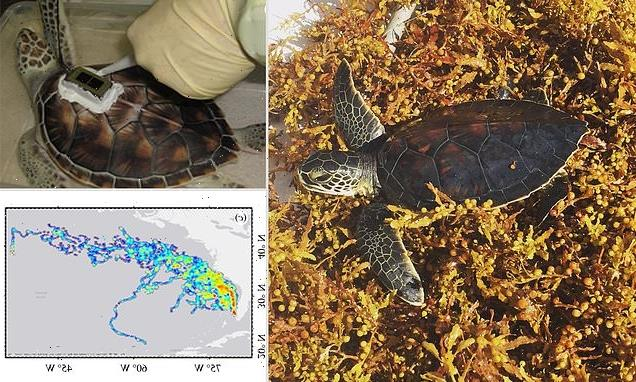Green sea turtles spend 'lost years' in the Sargasso Sea