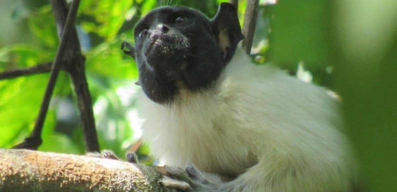 Monkeys can pick up new 'accents' when they are around other species, study says
