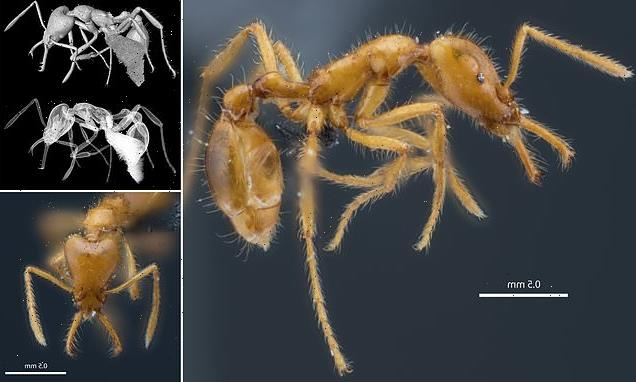 Now ANTS go non-binary! Newly discovered species is named 'they'