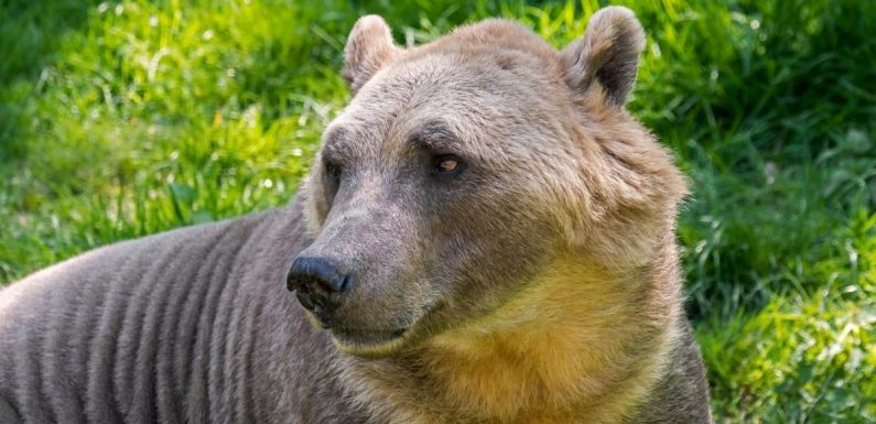 Polar bear and grizzly bear hybrids, known as 'pizzly bears,' could become more common because of the climate crisis