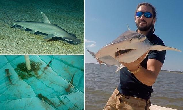 Sharks use Earth's magnetic field as a GPS, scientists say