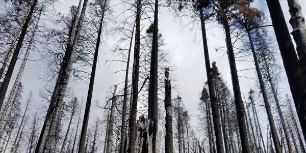 A single wildfire last summer destroyed at least 10% of the world's giant sequoia trees, a new report found