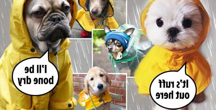 Adorable pooches get suited and booted for walkies in the rain