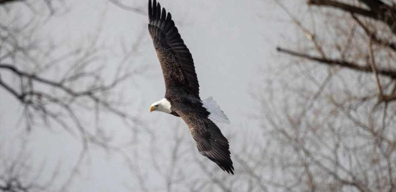 Bald eagles kill 54 lambs on Idaho farm