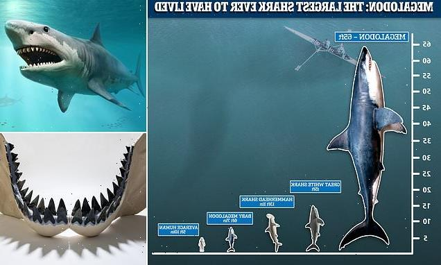 Megalodon sharks were BIGGER than previously thought at 'up to 65ft'