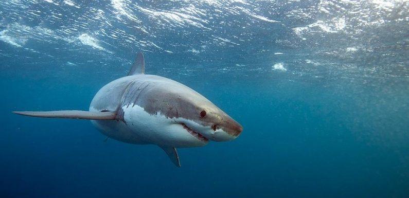 Sightings of 'juvenile' great white sharks increase off California coastline