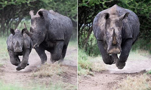 Terrifying moment rhinoceros charges straight at a photographer
