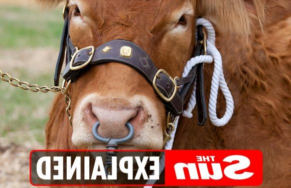 Why do bulls have nose rings?