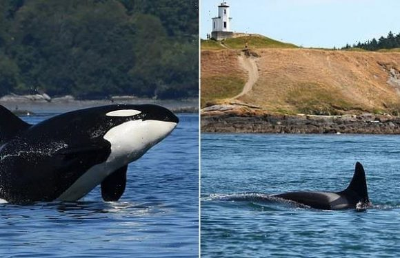 47-year-old 'grandma' orca missing from Pacific Northwest pod