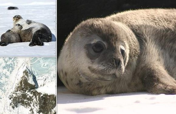 Antarctic Weddell seal populations are lower than expected, study says